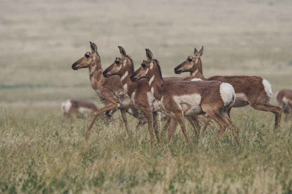 herd of brown doe walking on field
