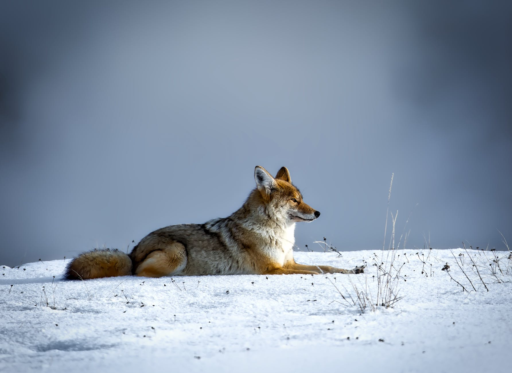 animal canine cold coyote